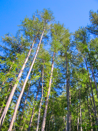 Alpha Timber - ΑΛΦΑ ΞΥΛΕΙΑΣ, Εισαγωγέας ξυλείας: American alder, ash, cherry, hard maple, soft maple, red oak, white oak, tulipwood, black walnut, aspen, basswood, beech, yellow birch, cottonwood, red elm, gum, hackberry, hickory & pecan, sycamore, willow, σκλήθρο, δεσποτάκι, λεύκα, φλαμούρι, οξυά, οξιά, σημύδα, κερασιά, καραγάτσι, φτελιά, μαστιχόδενδρο, μελικοκιά, ψευδοκαραγάτσι, άσπρη καρυδιά, σφένδαμος, δρυς, πλάτανος, λιριόδεντρο, καρυδιά, ιτιά